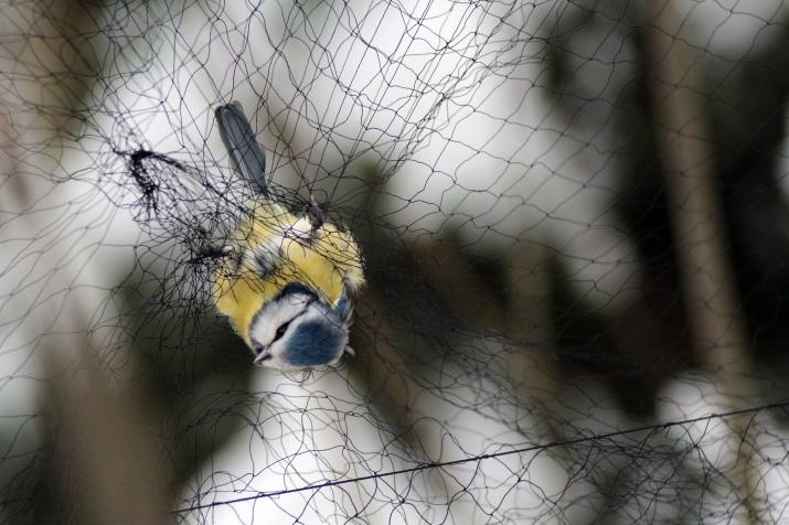 Bird 2 - Blue tit in Finland 2016